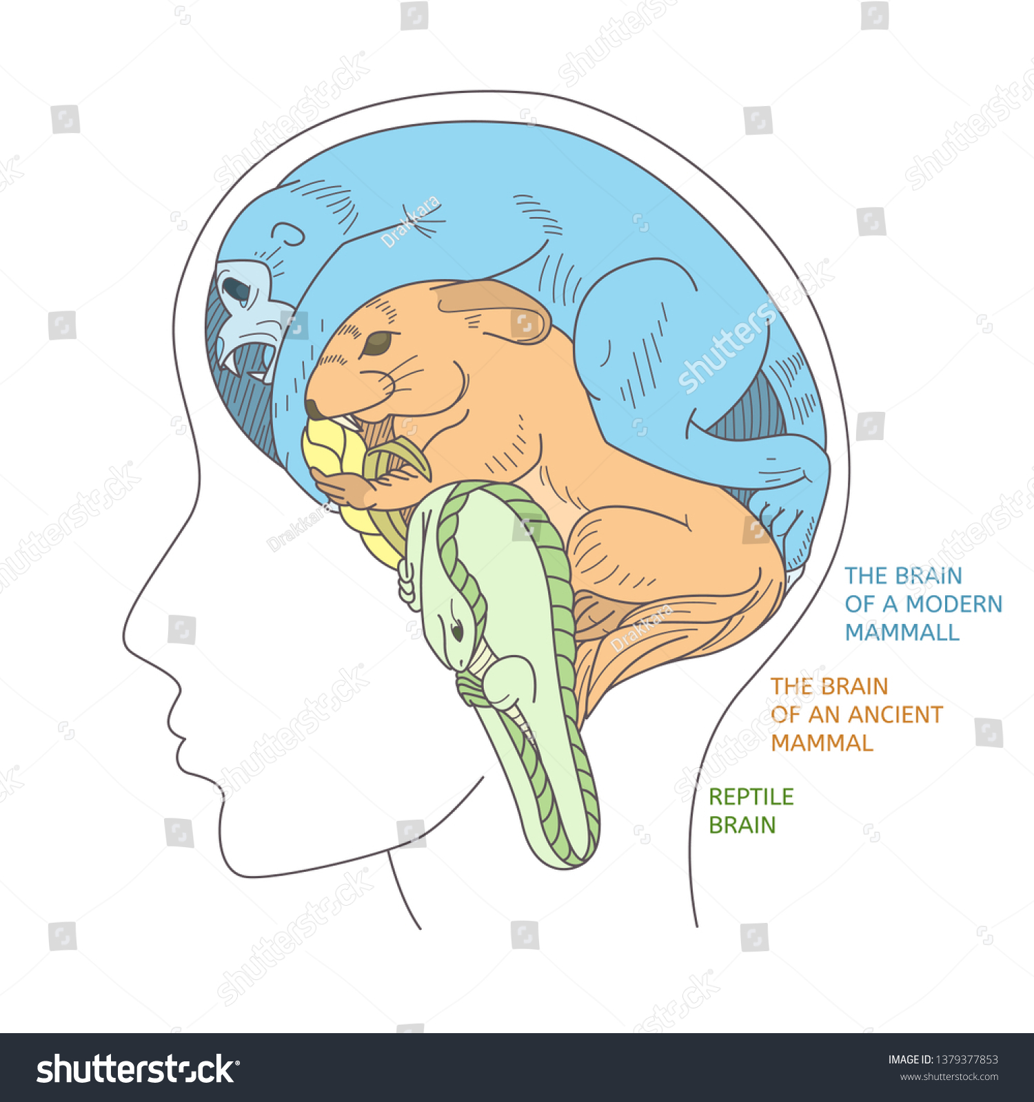 The structure of the human brain as a result of evolution. Visual representation of the brain in the form of animals: reptiles, an ancient mammal and a modern mammal.