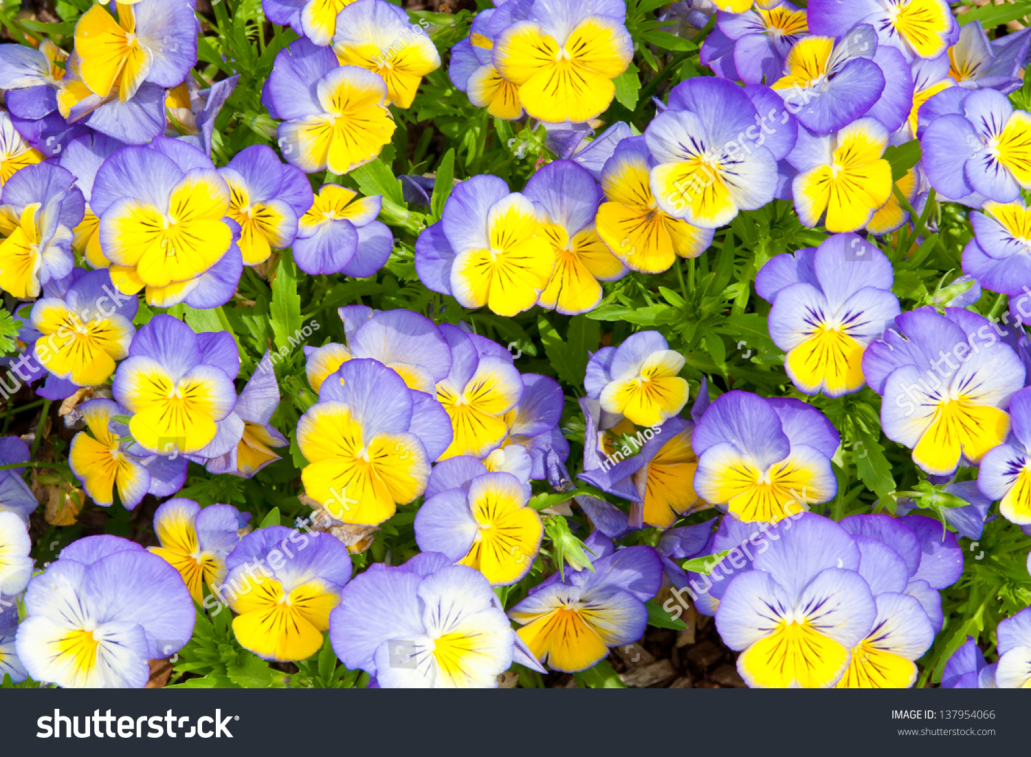 Colorful Blue Yellow Pansy Flowers Nature Stock Photo Edit Now