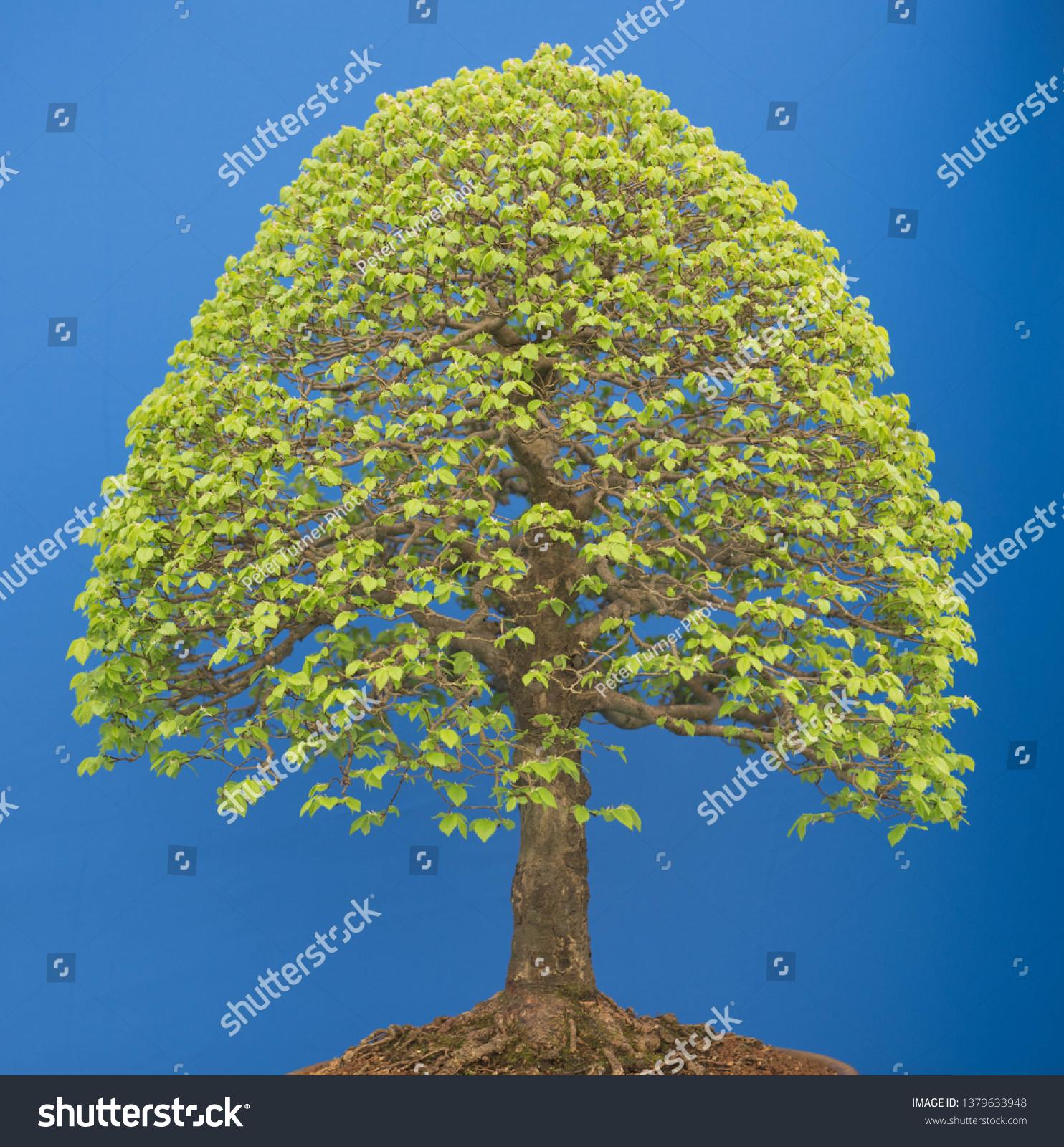 Siberian Elm Bonsai Tree Ulmus Pumila Stock Photo Edit Now 1379633948