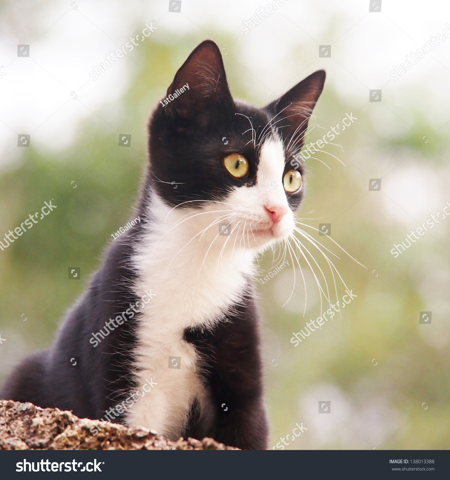 Young Cat Black White 25 Square Stock Photo (Edit Now) 138013388 ...