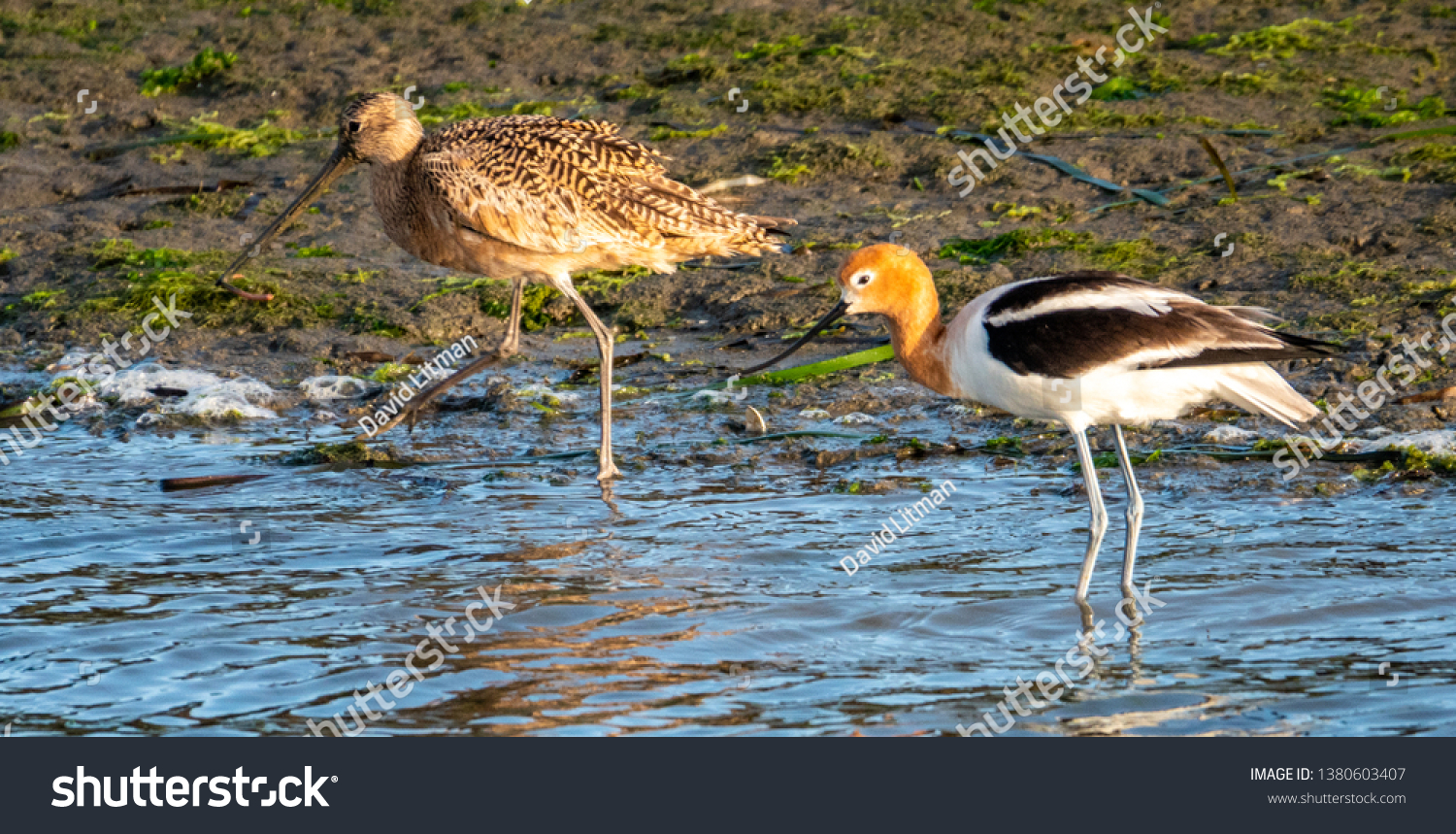 A Marbled Godwit (Limosa fedoa), left, walks next to an American Avocet (Recurvirostra americana) at Elkhorn Slough, near Moss Landing, along the Monterey Bay of central California.