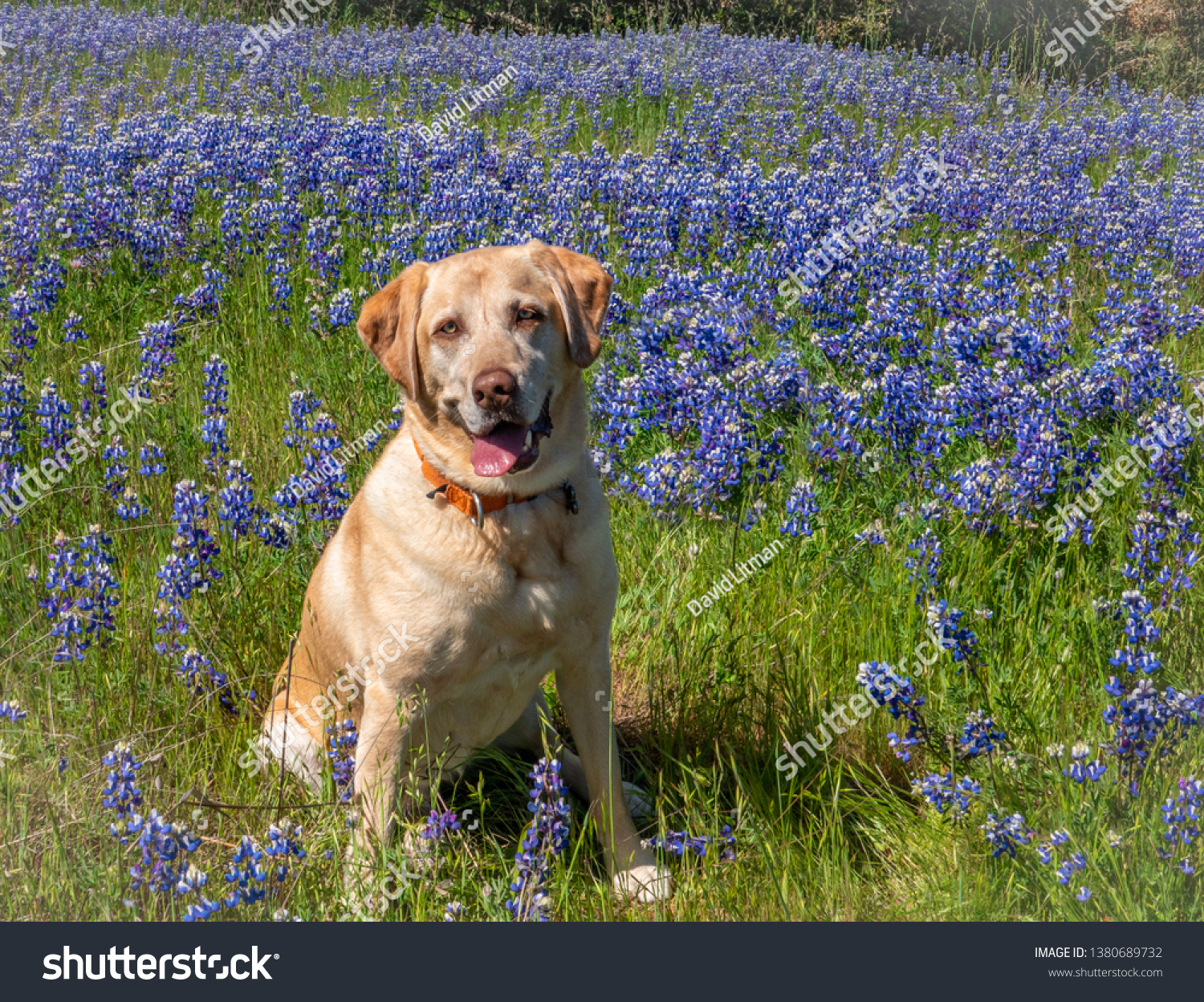 A happy yellow Labrador Retriever sits in a meadow of blue and purple Lupine wildflowers (Lupinus nanus) in the hills of Monterey, California.