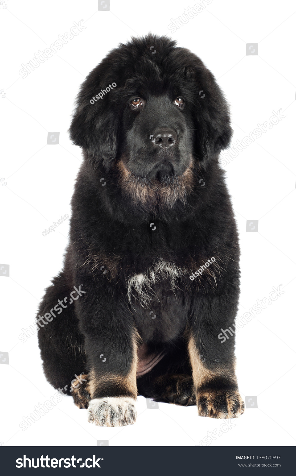 Adorabole Black Tibetan Mastiff Puppy Stock Photo ...