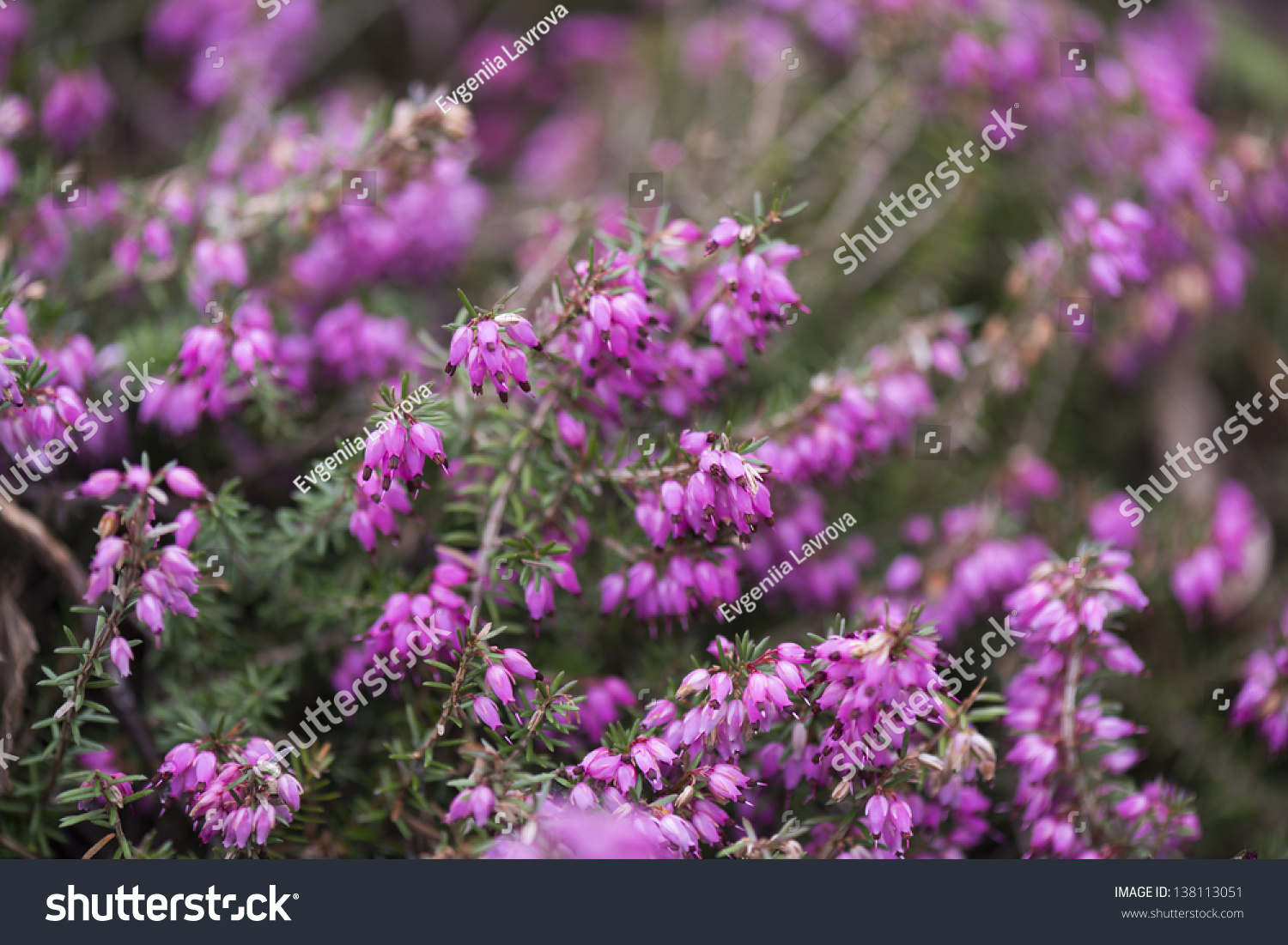 Heather Bush Lots Bright Pink Flowers Stock Photo Edit Now