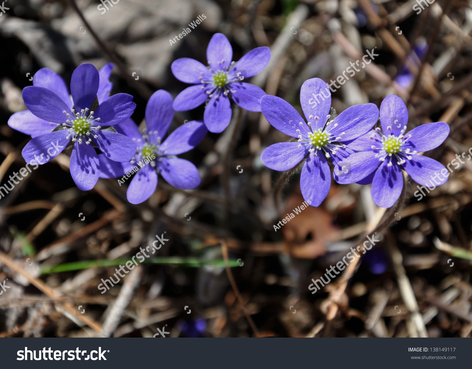 Hepatica Nobilis Blue Forest Flowers Early Stock Photo Edit Now