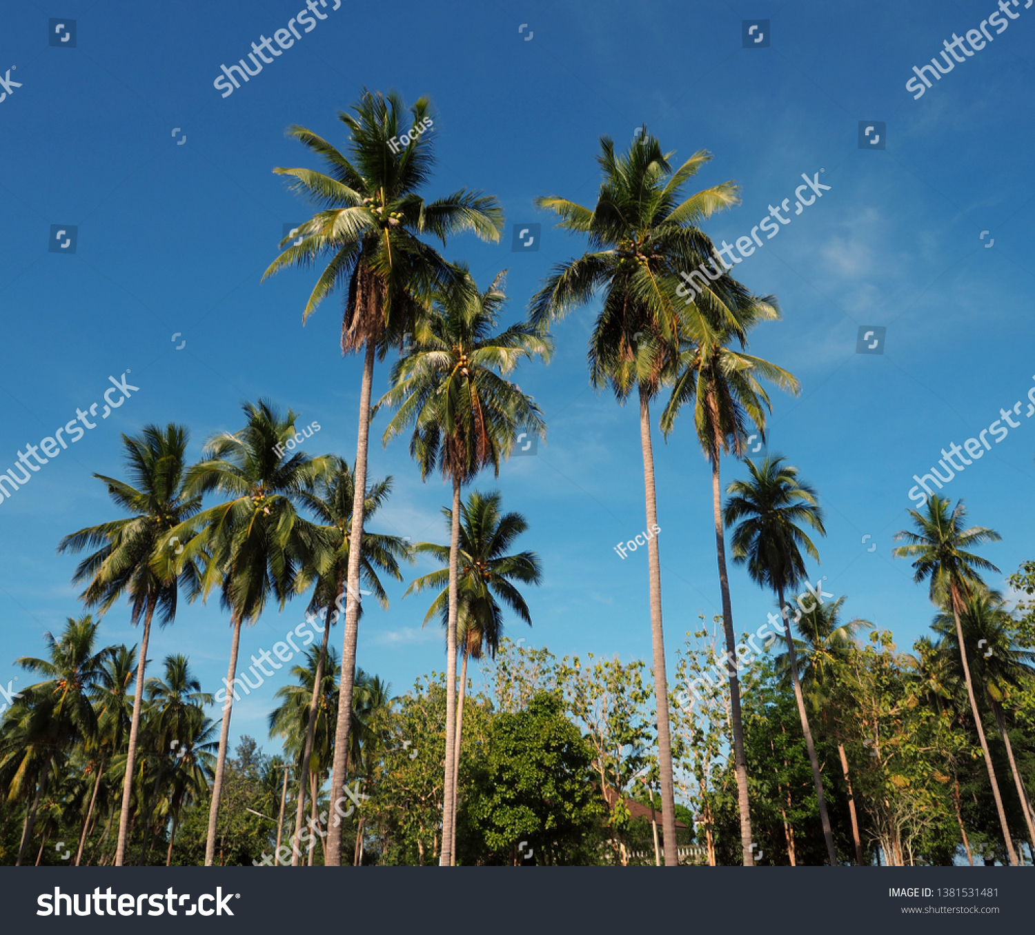 Up shot image of palm trees soaring into blue sky in Thailand.