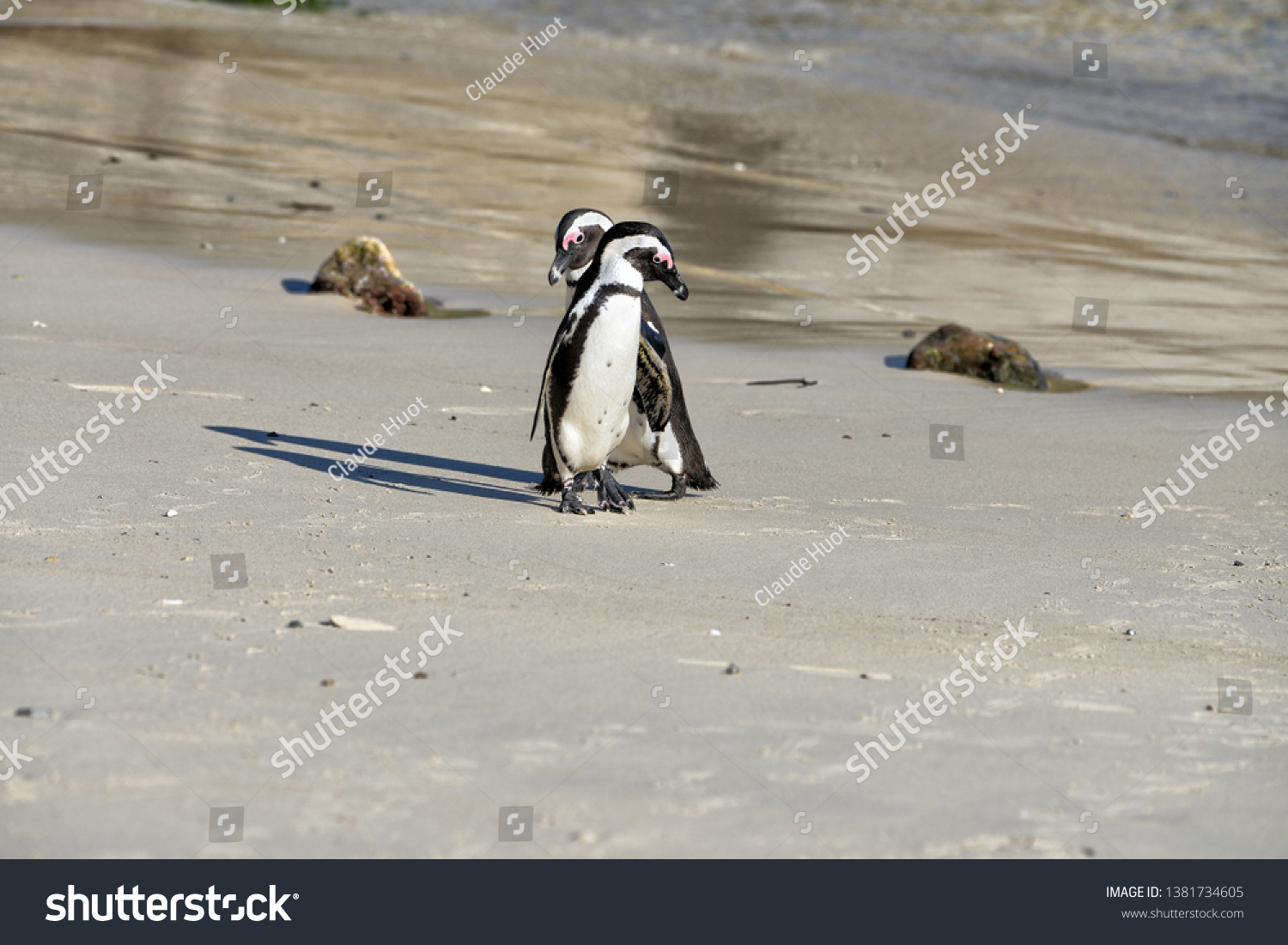 A couple of African penguins (Spheniscus demersus) walk on Boulders Beach near Cape Town, South Africa