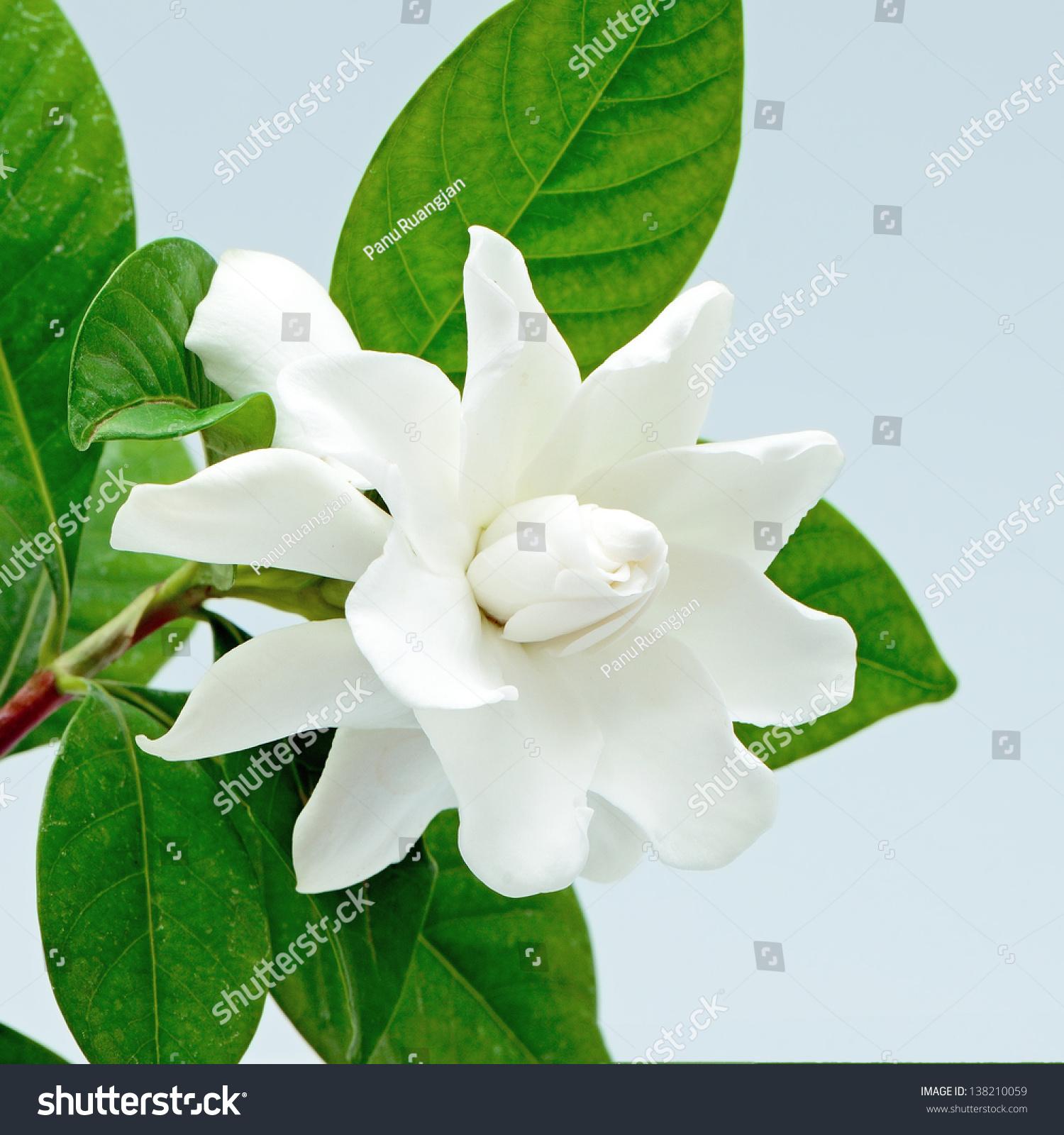 White Gardenia Flower Cape Jasmine Gardenia Stock Photo Royalty