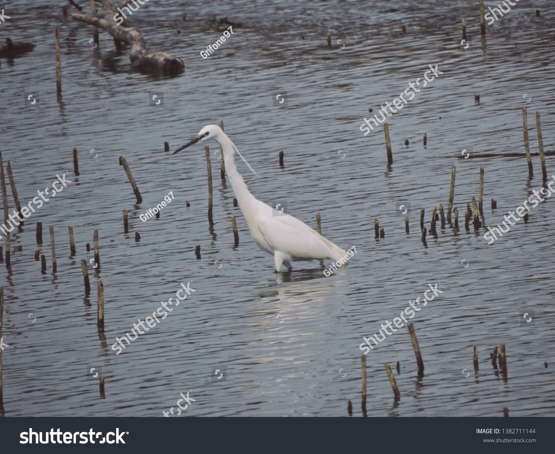 Little egret or Garzetta is an aquatic bird that lives in shallow water.