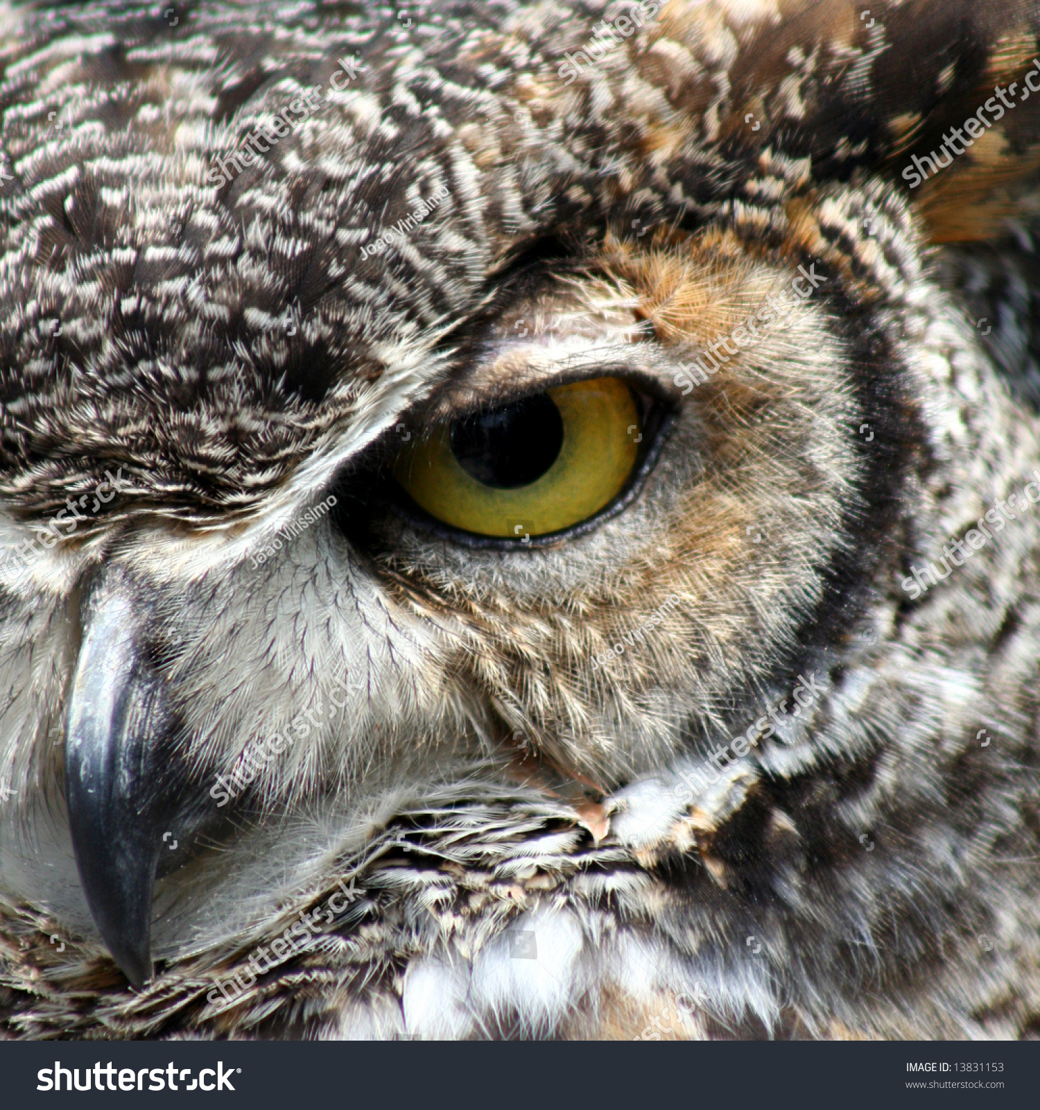 Great Horned Owl Eye C...