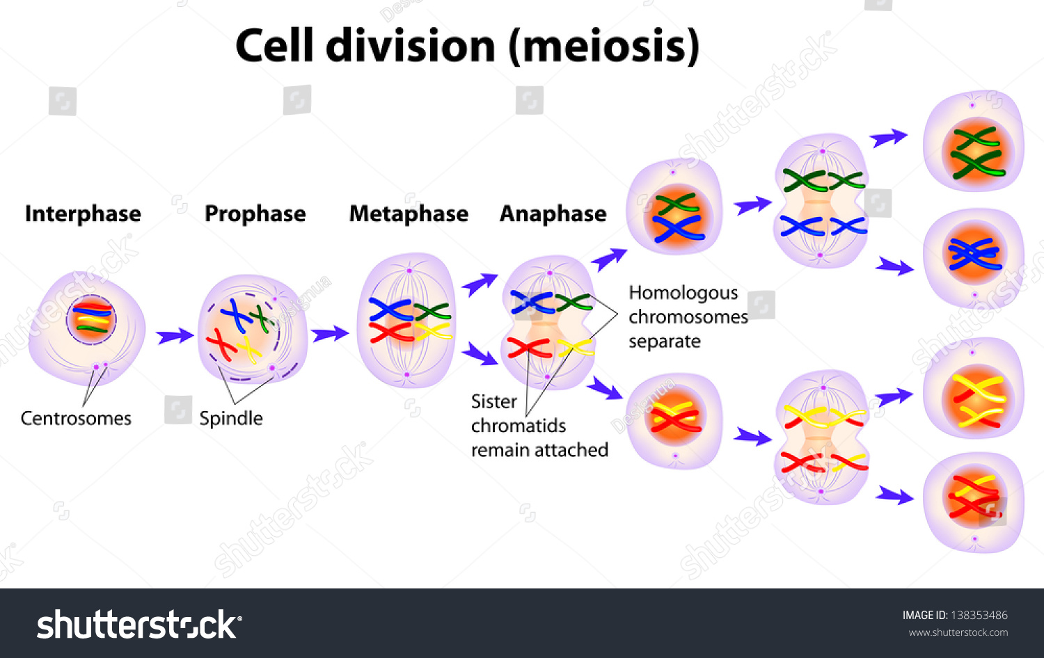 "processes of mitosis and meiosis Because the events that occur during each of the division stages are analogous to the events of mitosis, the same stage names are assigned however, because there are two rounds of division, the major process and the stages are designated with a ""i"" or a ""ii"" thus, meiosis i is the first round of meiotic division and consists."