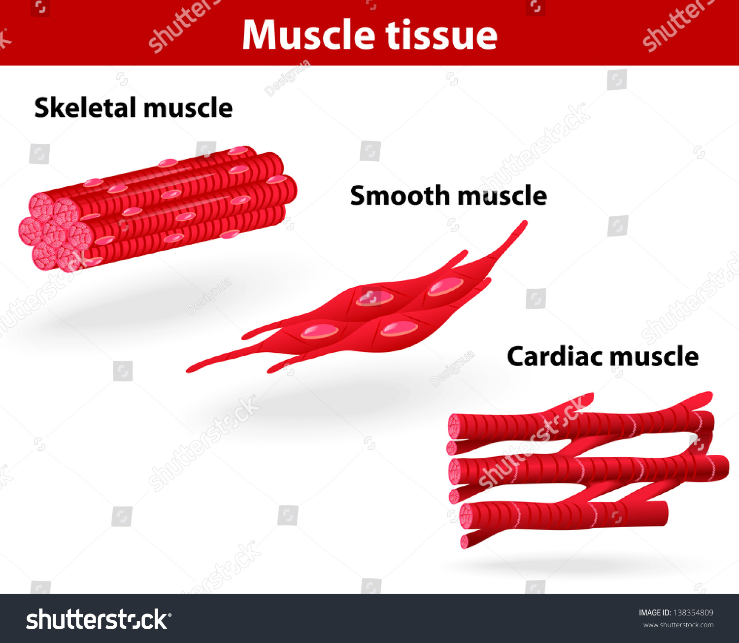 Types Muscle Tissue Skeletal Muscle Smooth Stock Illustration