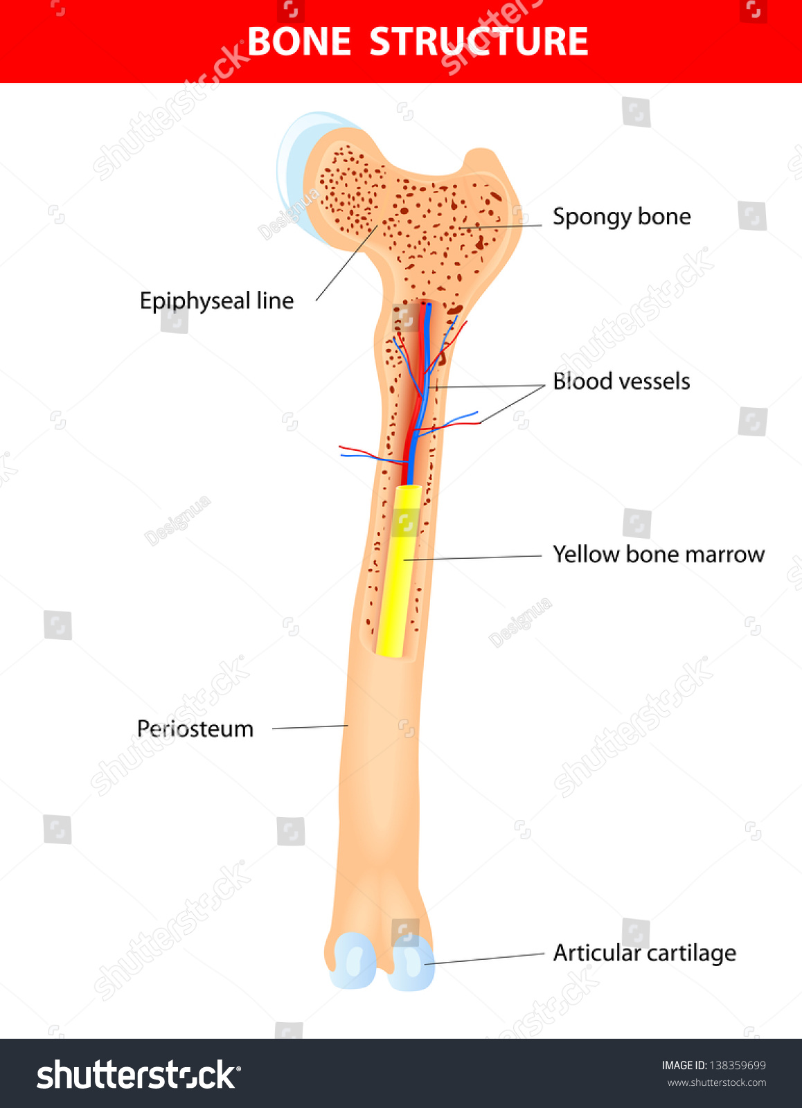 Long Bone Anatomy Scheme Stock Illustration 138359699 - Shutterstock