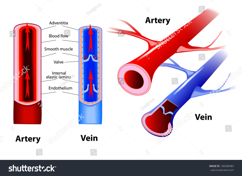 Artery Vein Circulatory System Red Indicates Stock ...