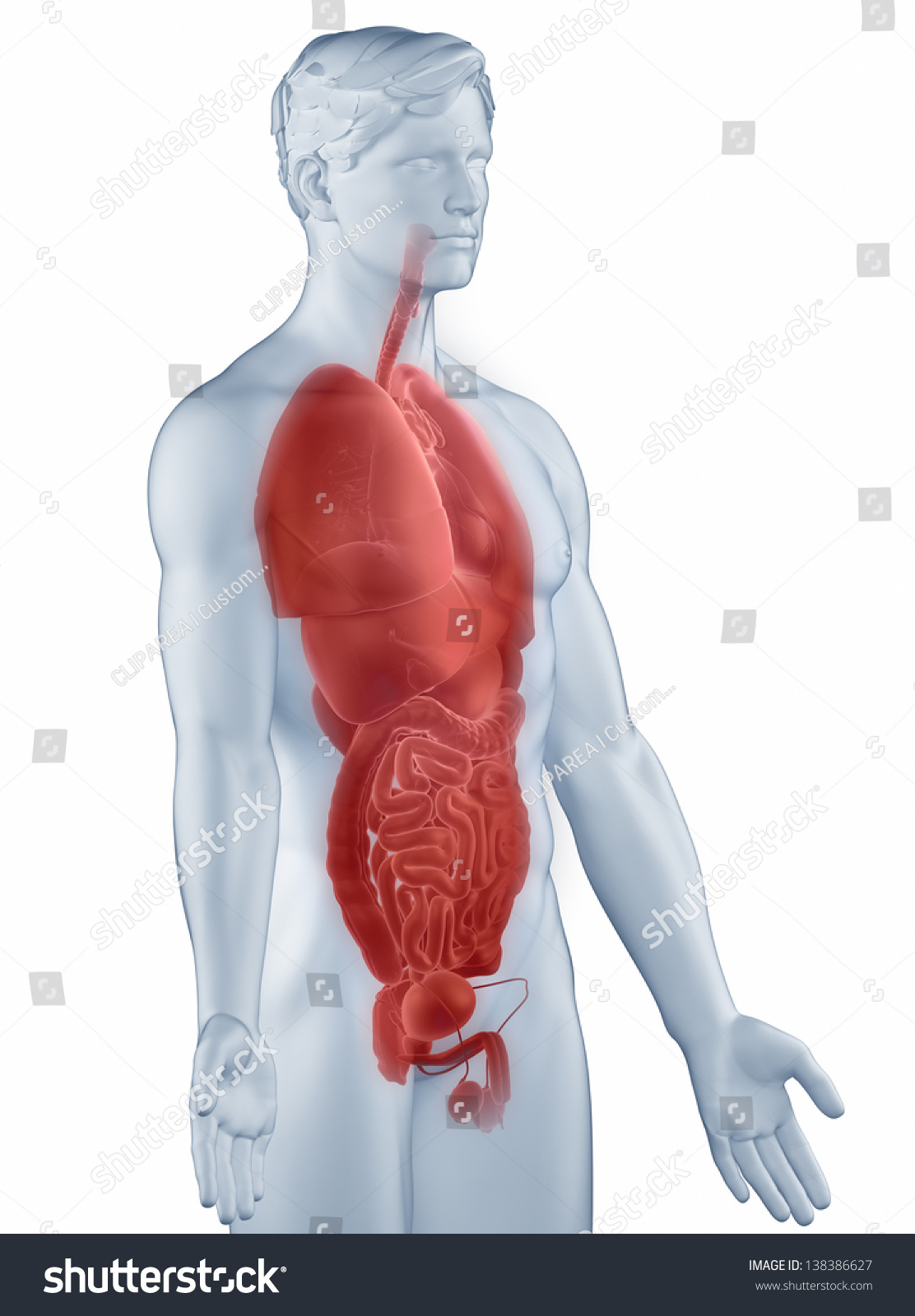 Organs Position Anatomy Man Isolated Lateral Stock Illustration