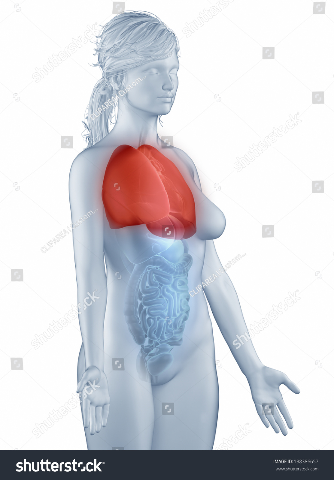 Lungs Position Anatomy Woman Isolated Lateral Stock Illustration