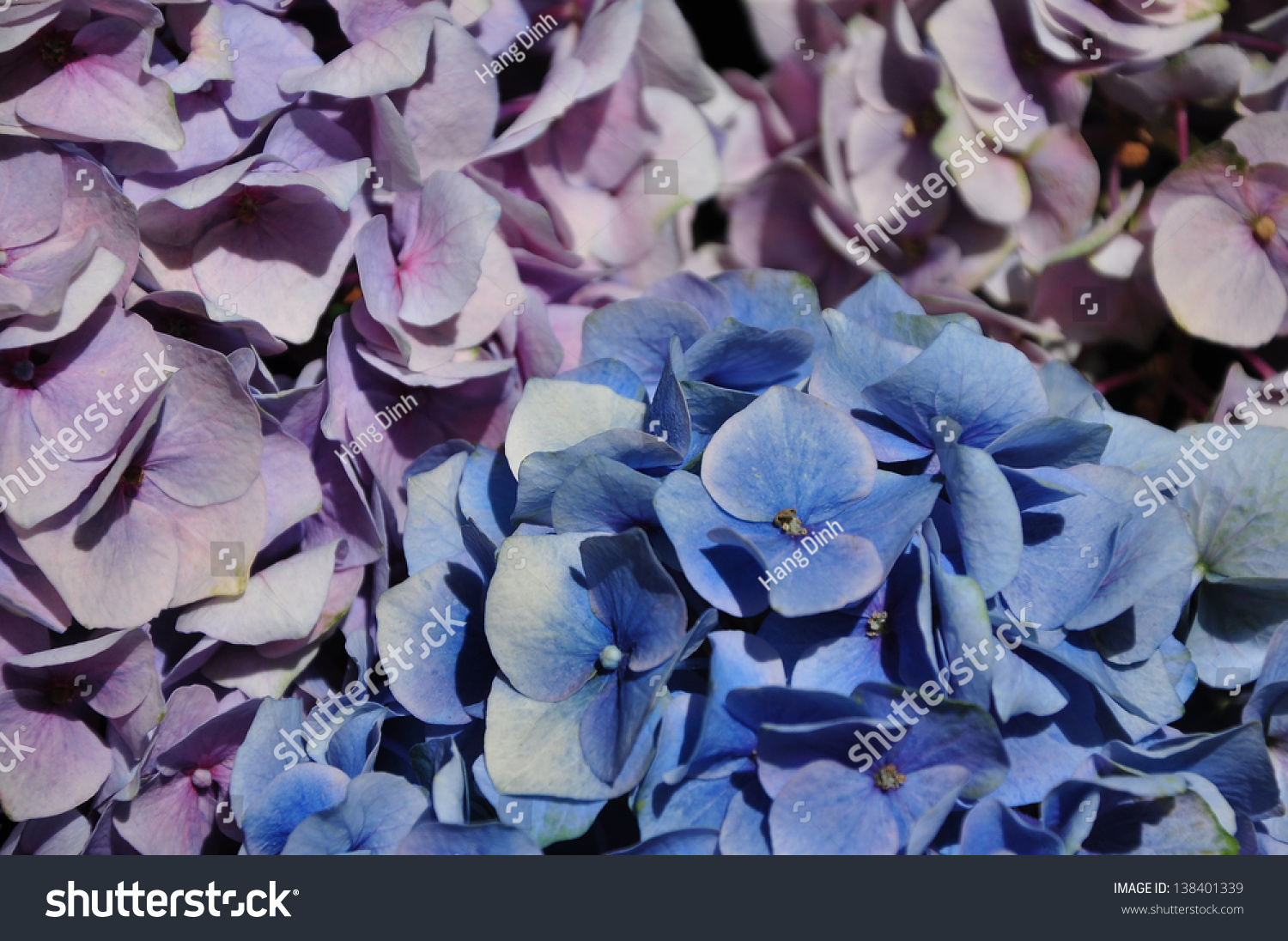 Hydrangea flowers blue purple stock photo safe to use 138401339 hydrangea flowers blue and purple izmirmasajfo