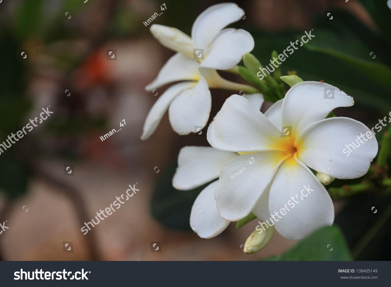 Beautiful White Flower From Thailand Hit Light Morning Sun Ez Canvas