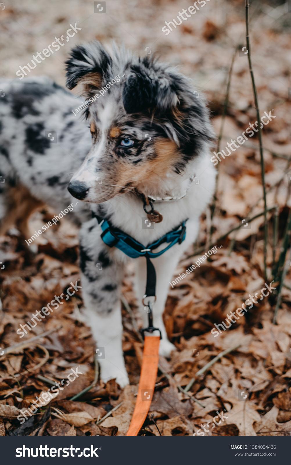 Blue Merle Australian Shepherd Puppy Outdoors Stock Photo Edit Now 1384054436