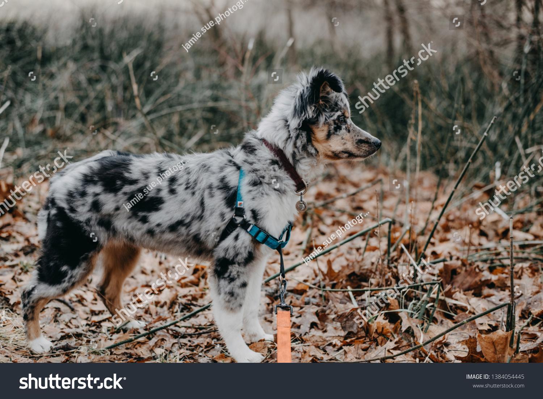 Blue Merle Australian Shepherd Puppy Outdoors Stock Photo Edit Now 1384054445
