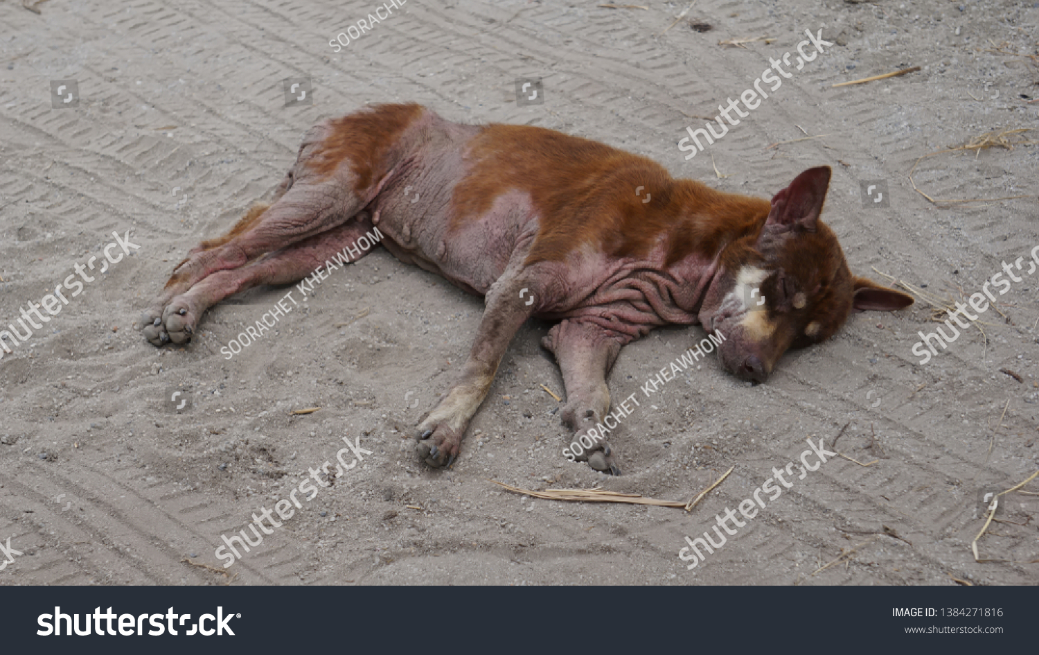 Vagrant dog is sick as canine demodicosis. It ​​is sleeping on the ground. #1384271816