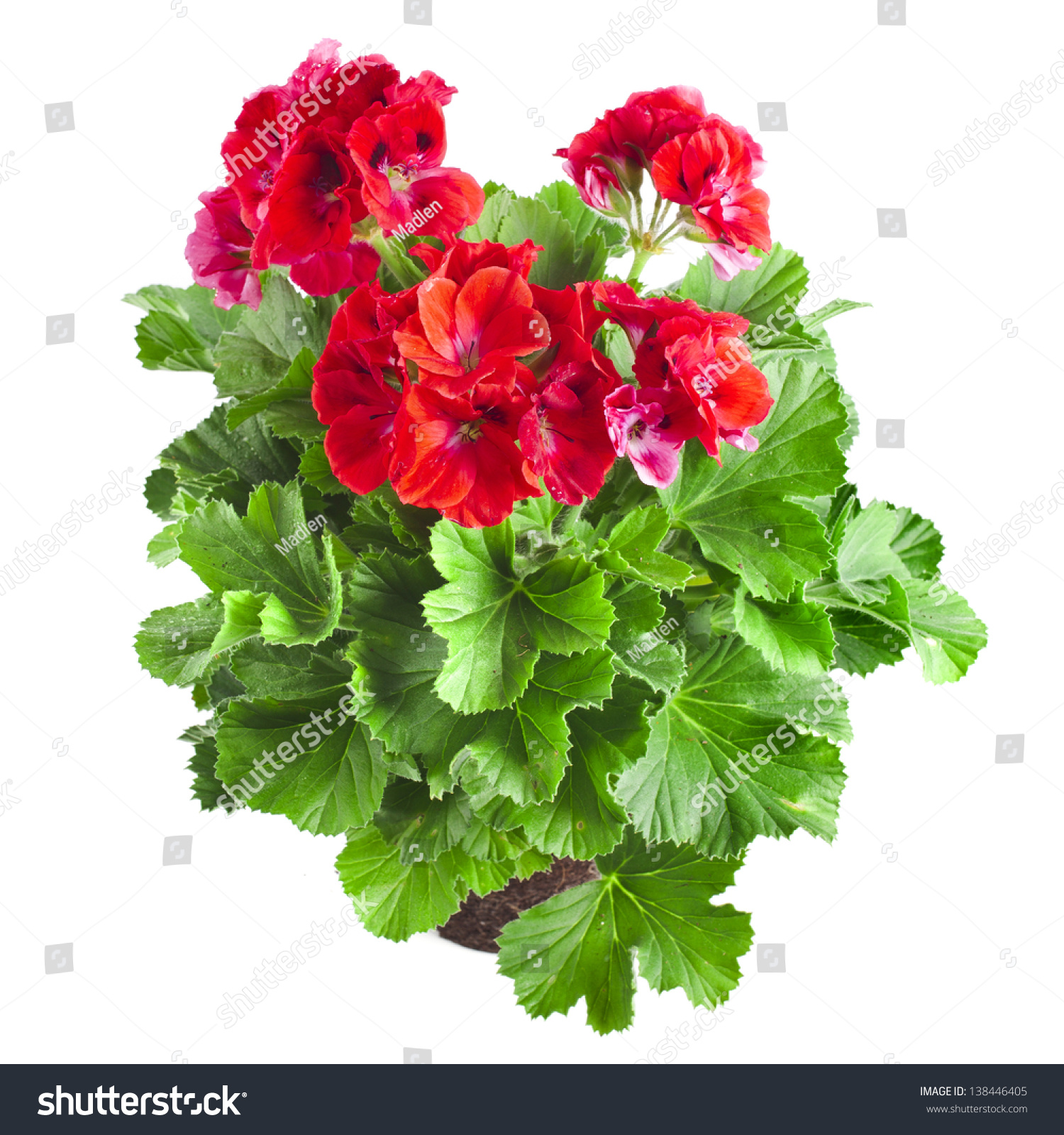 Red Geranium Flower Close Up Isolated On White Background ...