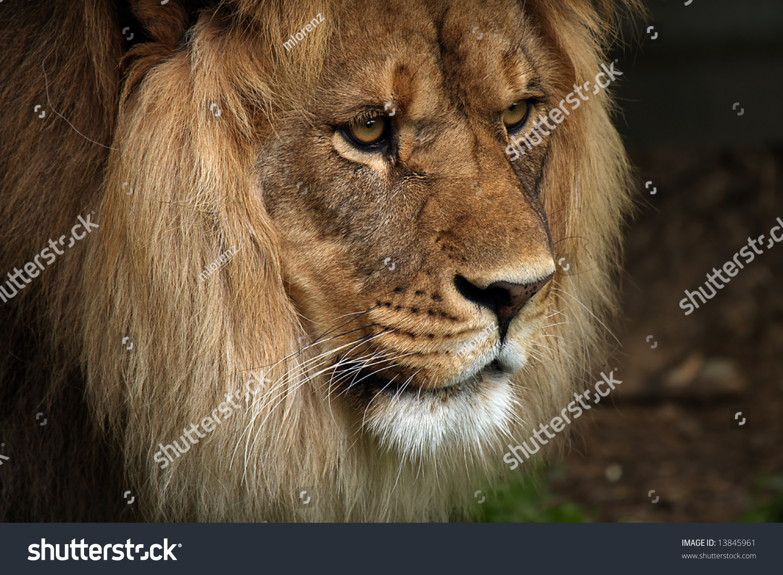 Female Lion Side Profile