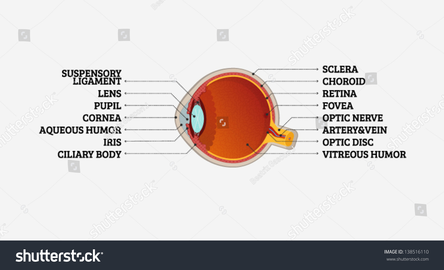 Human Eye Cross Section Labeling Stock Vector Royalty Free