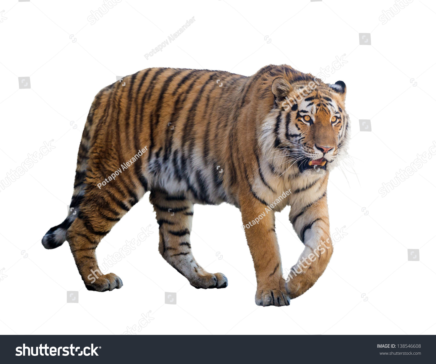 large tiger isolated on white background stock photo (edit now