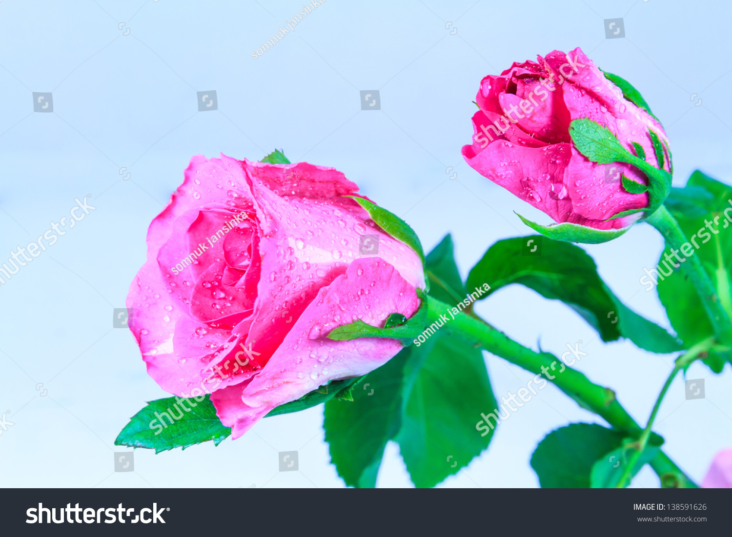 A rose is a flower that represents friendship or love for Flowers that represent love