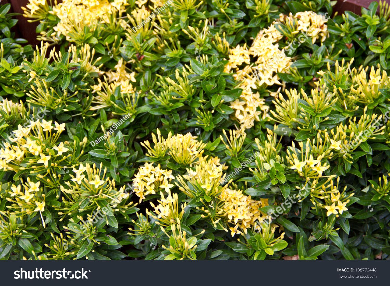 Yellow Flowers West Indian Jasminescientific Name Ixora Stock Photo