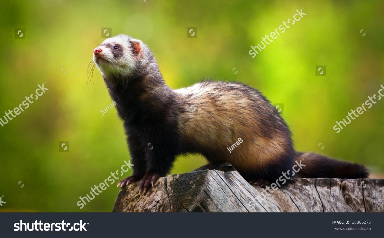 Ferret Stock Photo 138806276 - Shutterstock | 1500 x 930 jpeg 437kB