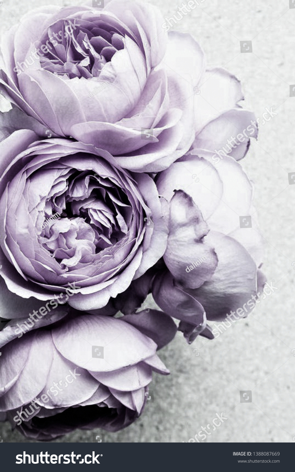 Purple White Peony Flower Background Flower Stock Photo Edit Now ...
