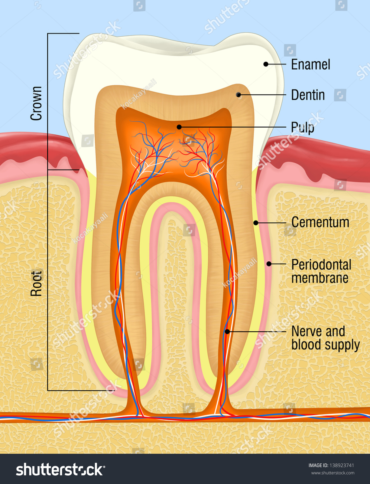 Human Tooth Crosssection Stock Illustration 138923741 Shutterstock