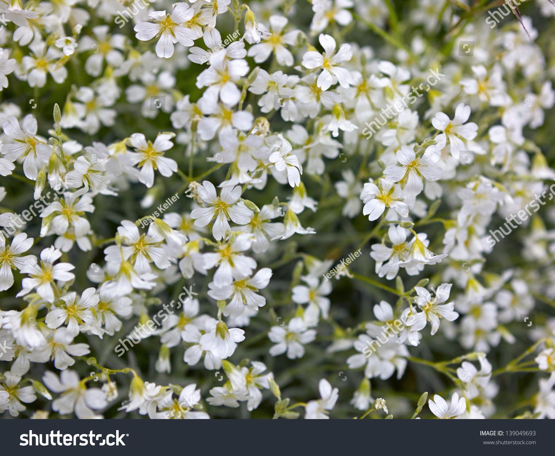 Background bushes white flowers spring closeup stock photo royalty background of bushes of white flowers in spring close up mightylinksfo