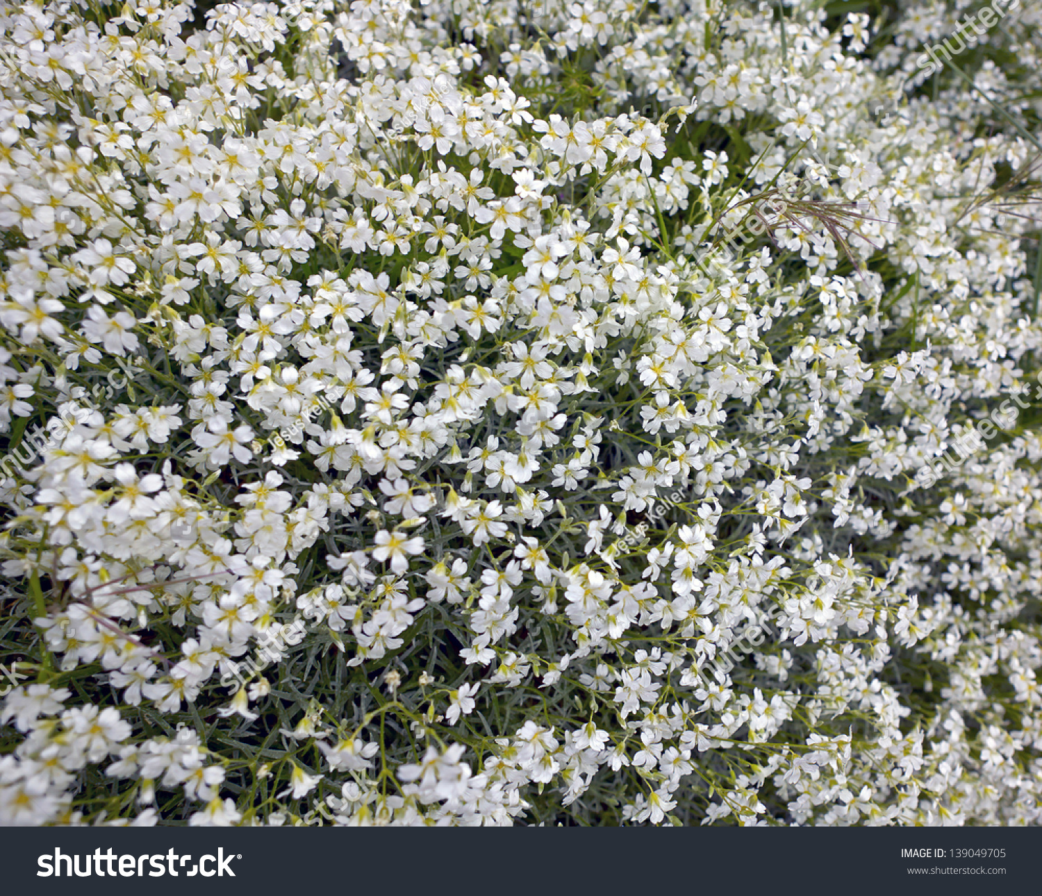 Background Bushes White Flowers Spring Stock Photo Edit Now
