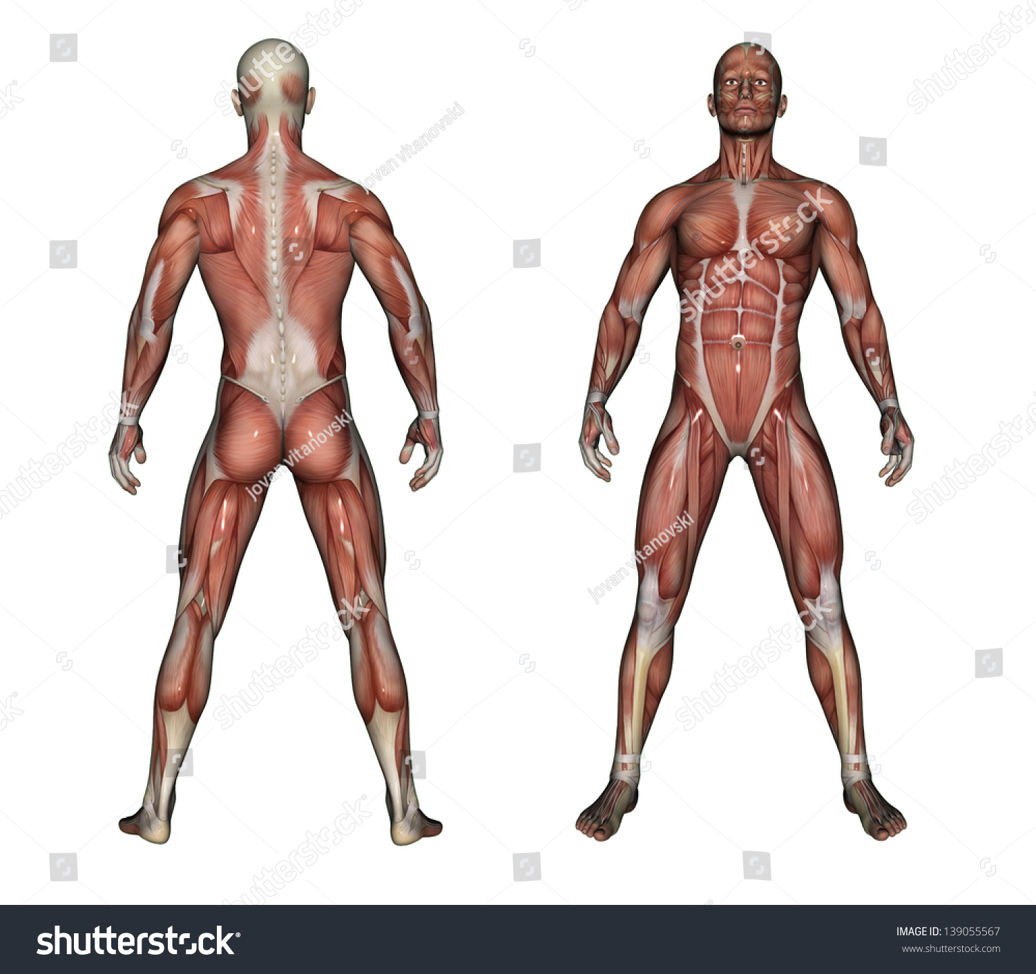 Human Anatomy Male Muscles Made 3 D Stock Illustration 139055567 ...