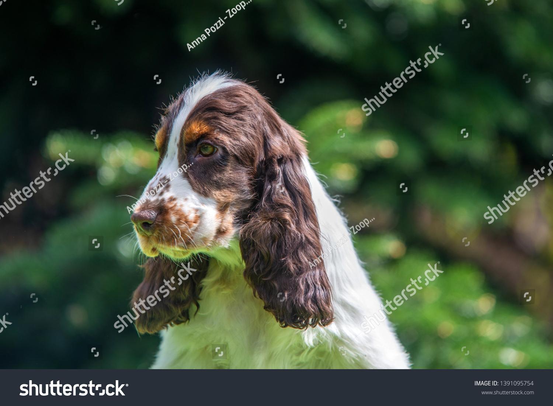 Closeup Portrait Tricolor English Cocker Spaniel Stock Photo Edit Now 1391095754