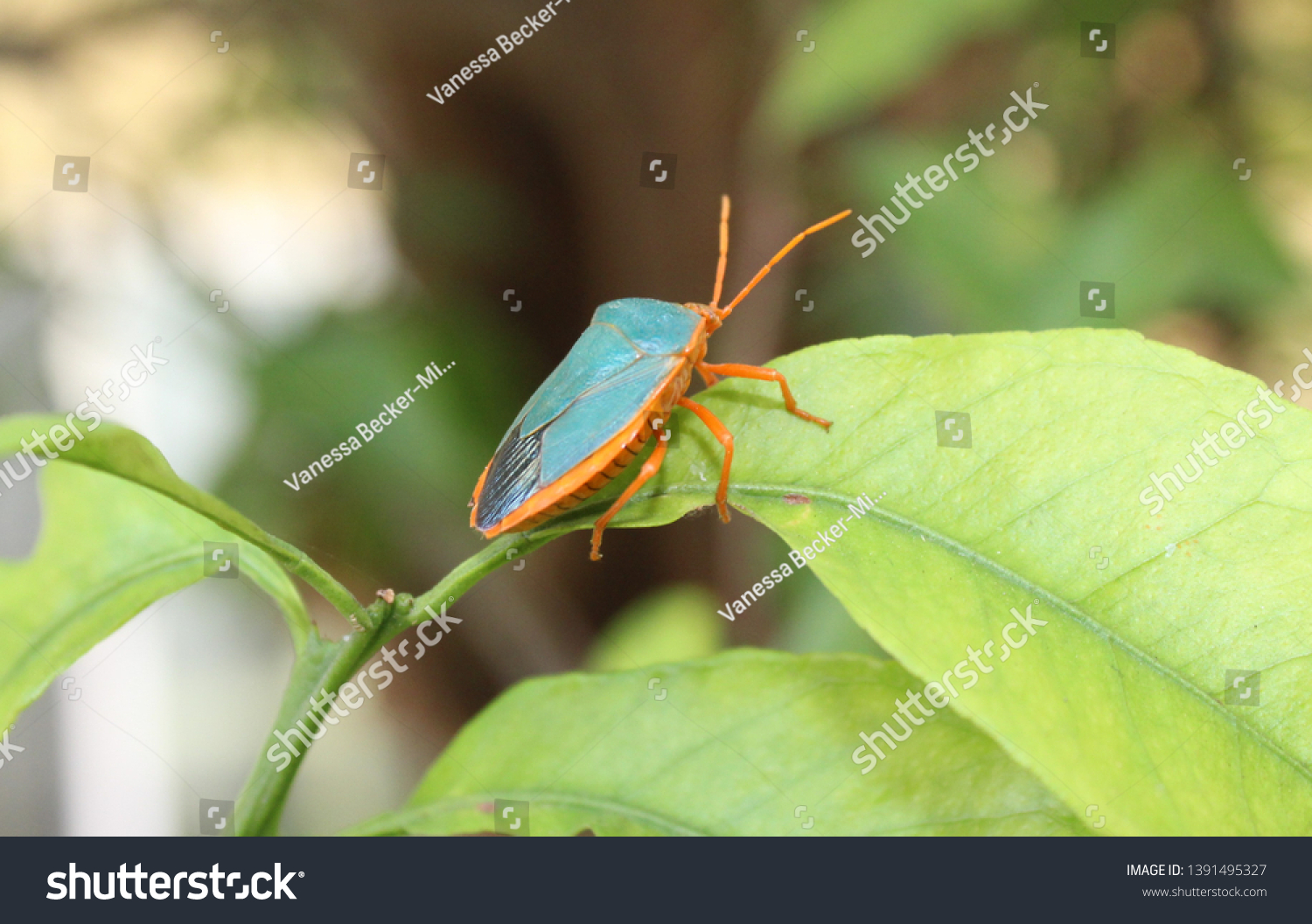 Turquiose Shield bug on a leaf in garden Merida, Mexico #1391495327