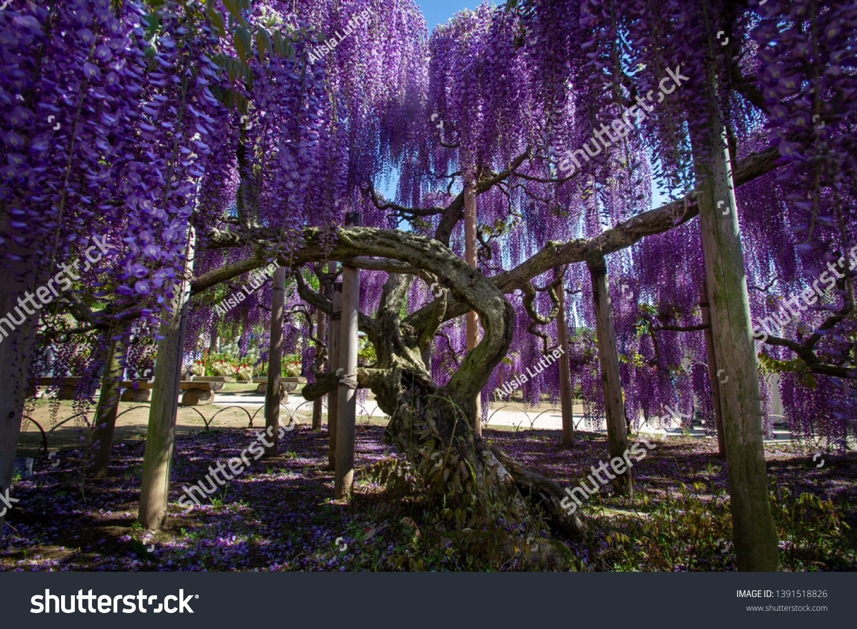 Wisteria Tree Ashikaga Flower Park Japan Stock Photo Edit Now 1391518826