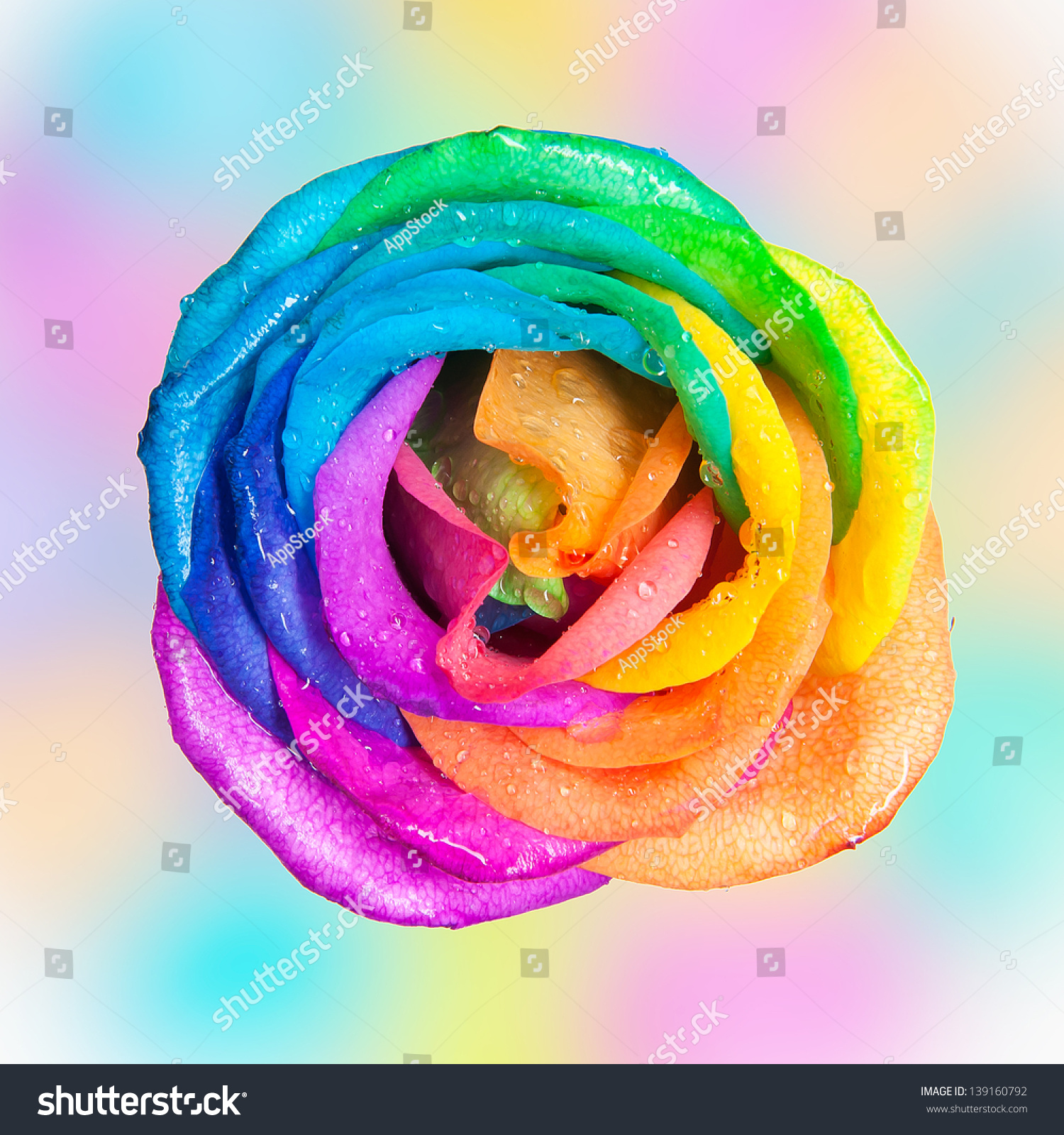 macro rainbow rose heart flower multi stock photo