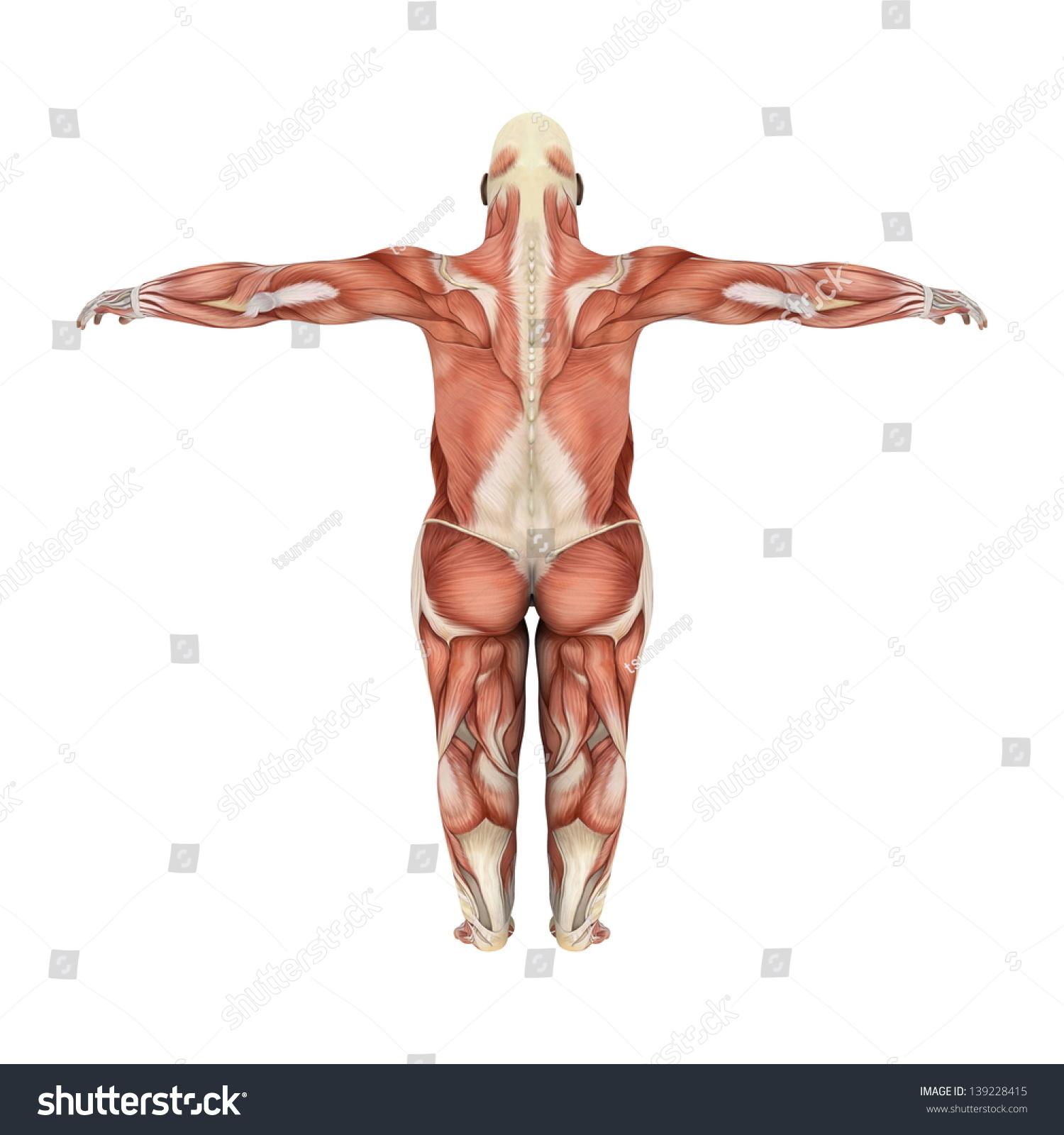 Gorilla Muscle Anatomy 32399 | MOVIEWEB