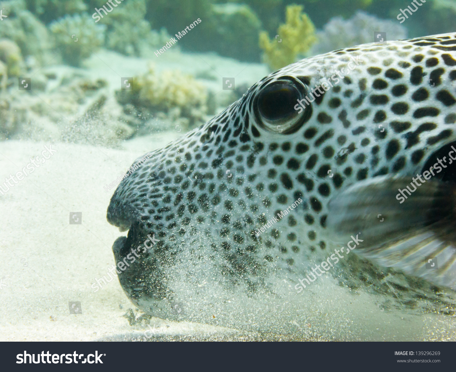 Giant puffer fish hovering over sandy stock photo for Giant puffer fish