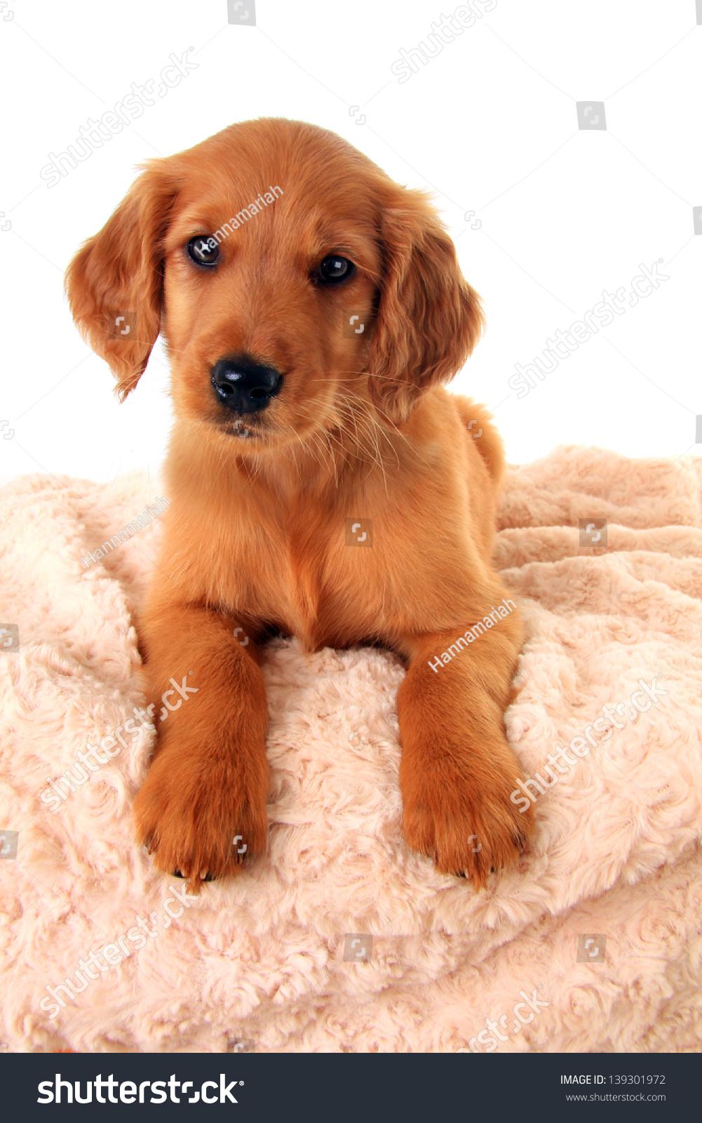 red retriever puppies