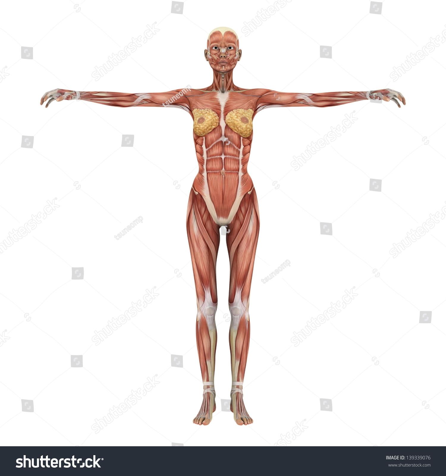 female muscular system | EZ Canvas