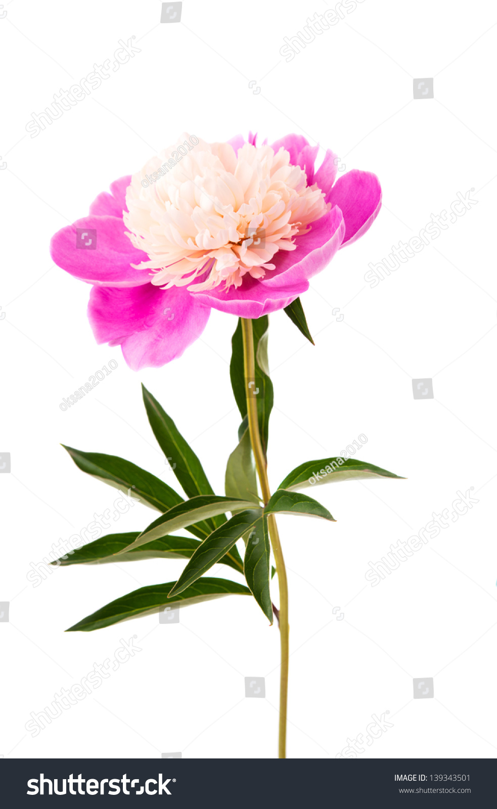Pink Peony Flower Isolated On White Ez Canvas