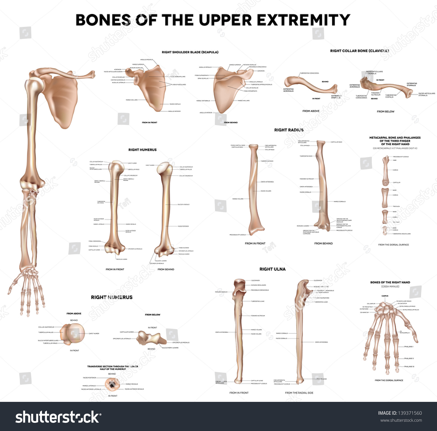 Blank Radius And Ulna Diagram 44344 | IMGFLASH
