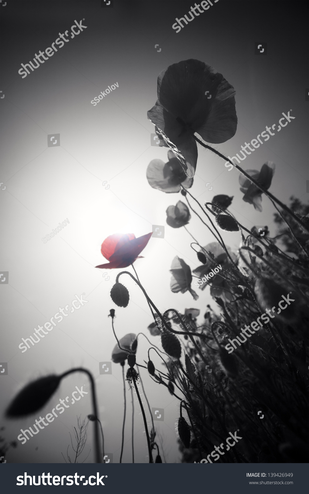 Abstract black and white poppies with one single color flower symbol of war