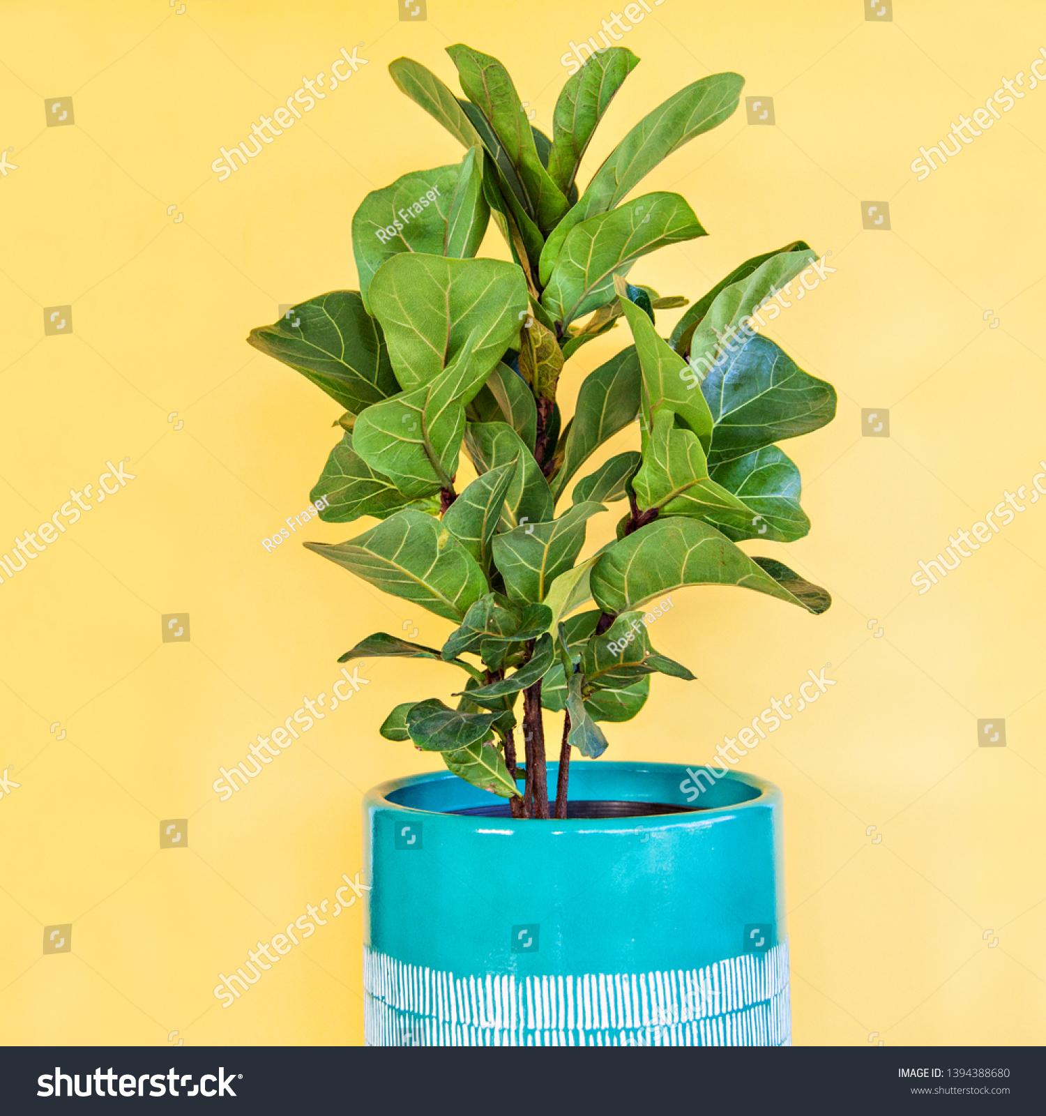 Fiddle Leaf Fig Bambino Ficus Lyrata Stock Photo Edit Now 32