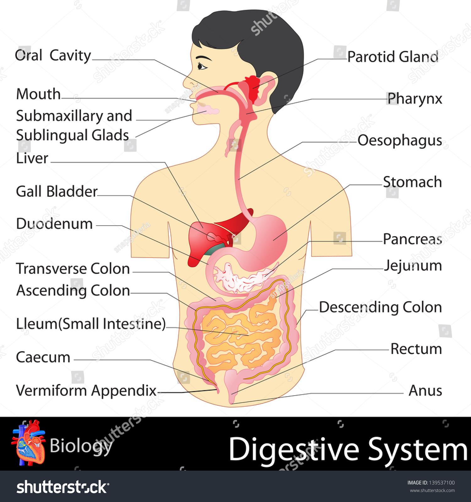 Easy Edit Vector Illustration Digestive System Stock Vector Royalty